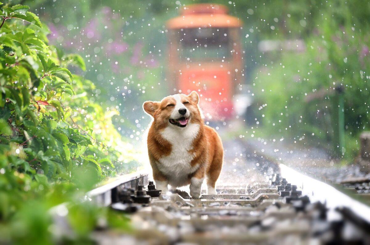 خنک شدن سگ زیر باران