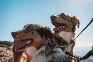له له زدن سگ ها در اثر گرما