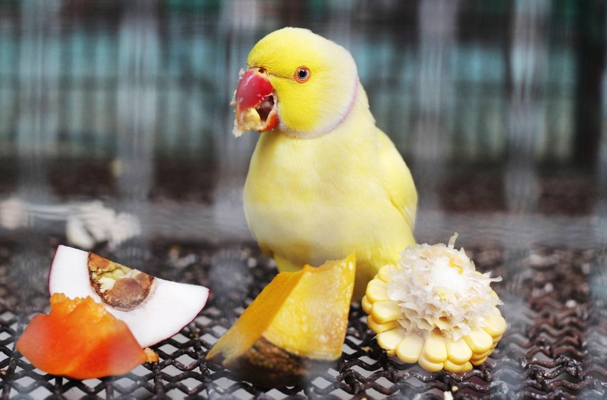 غذای طوطی ملنگو