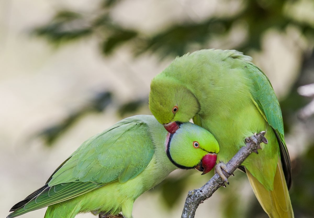 جفت طوطی سبز ملنگو
