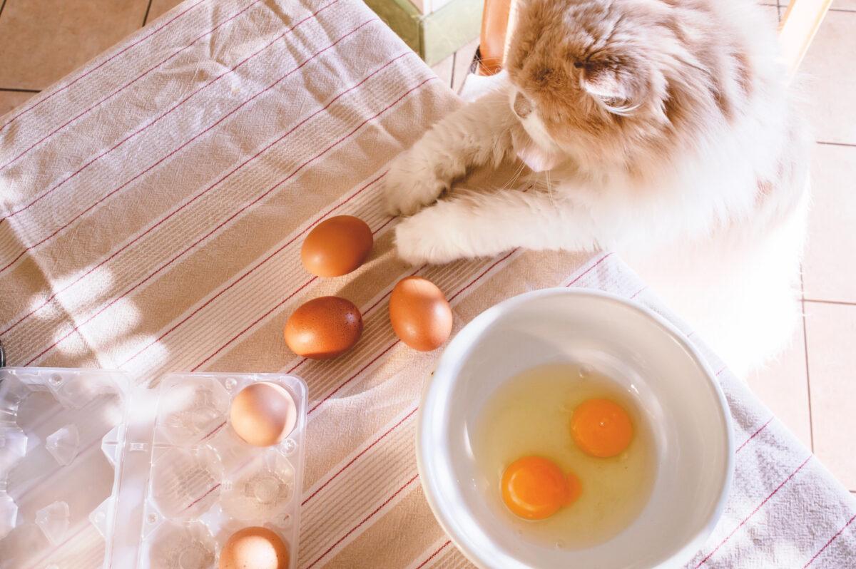 تخم مرغ جزو غذاهای مضر برای گربه