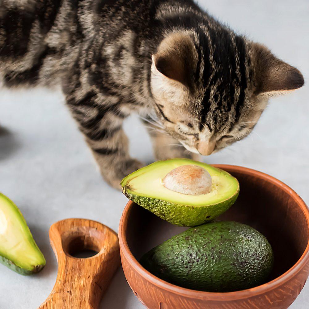 گربه و آوکادو