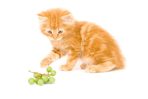 انگور برای گربه مضر است