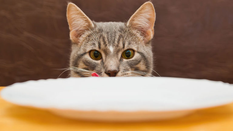 بشقاب خالی در مقابل گربه
