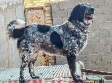 معرفی نژاد سگ قهدریجانی (قدرجونی) – سگ نگهبان ایرانی
