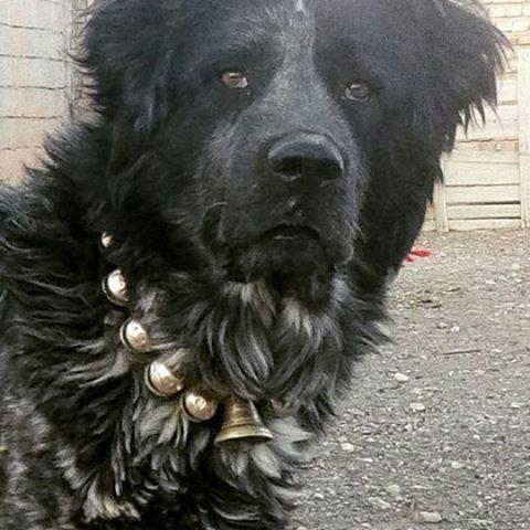 عکس سگ قدرجونی وحشی