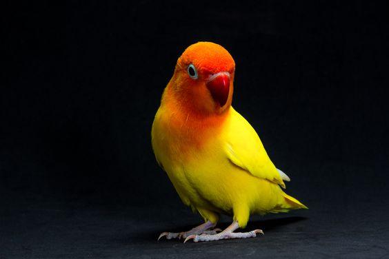 طوطی برزیلی سخنگوی زرد رنگ در زمینه تیره