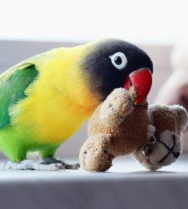 طوطی برزیلی و اسباب بازی
