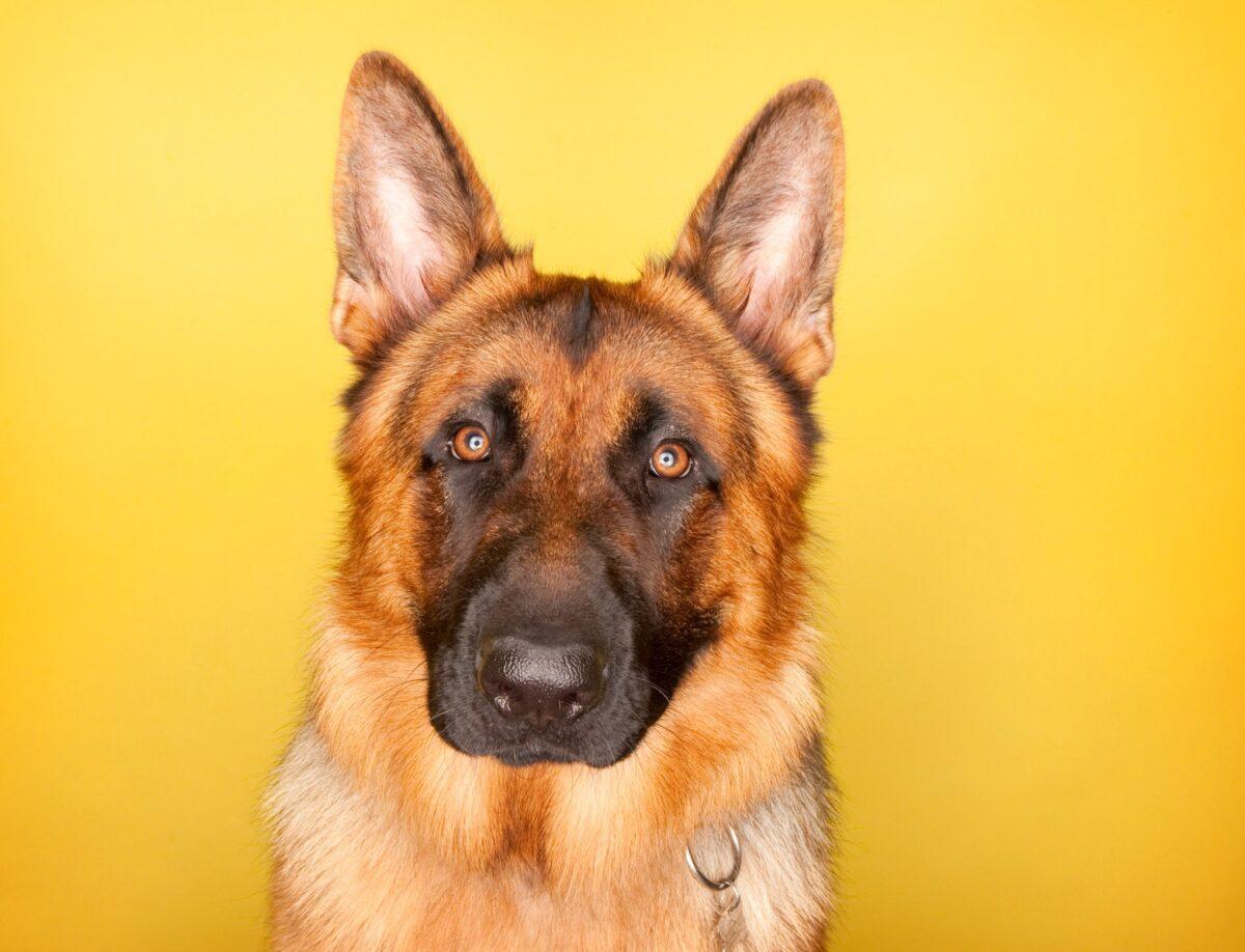 سگ با پشت زمینه ی زرد