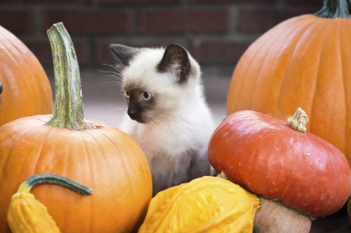 گربه سیامی بین کدو حلوایی و کلم