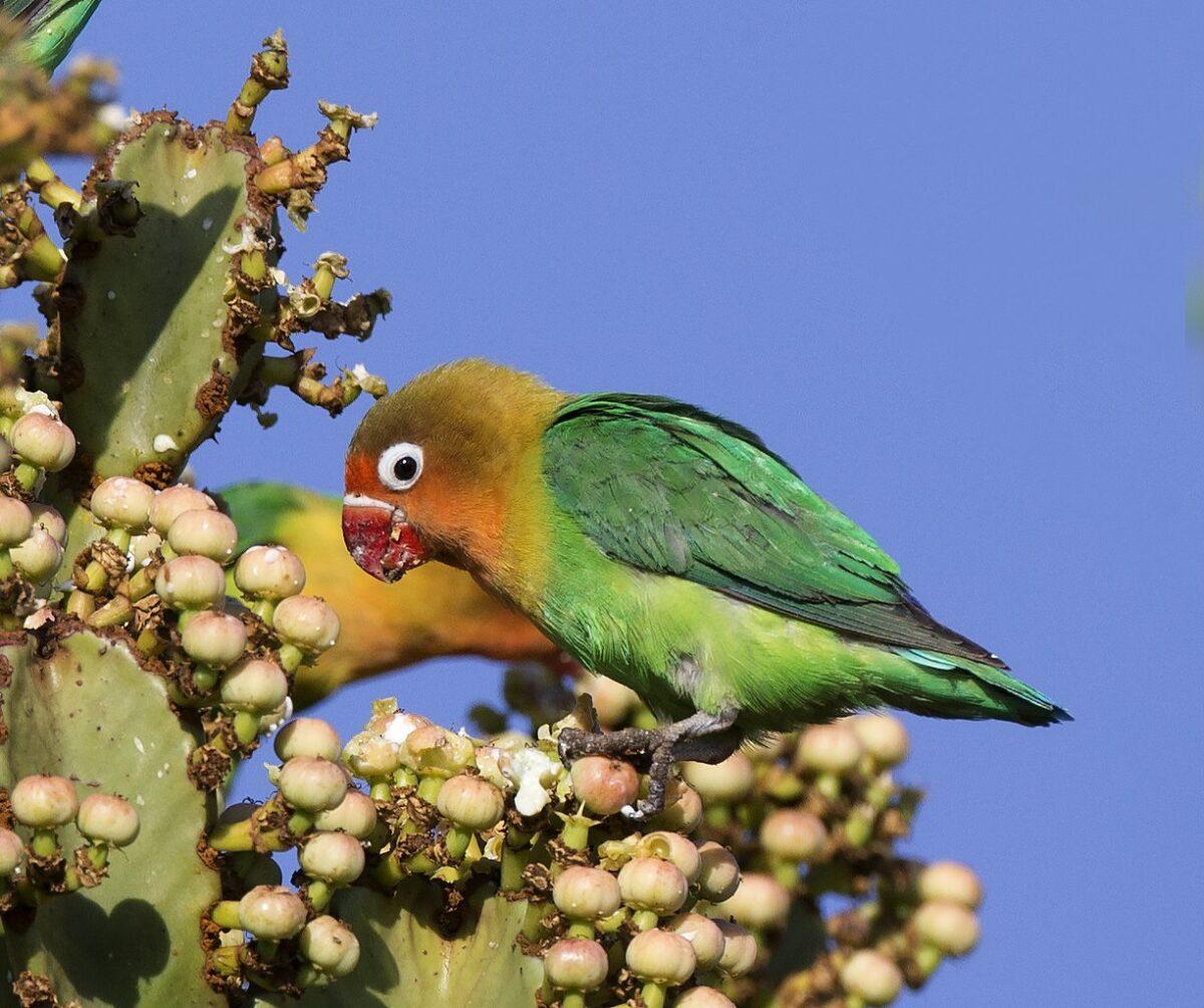 طوطی برزیلی سخنگو در حال خوردن میوه کاکتوس