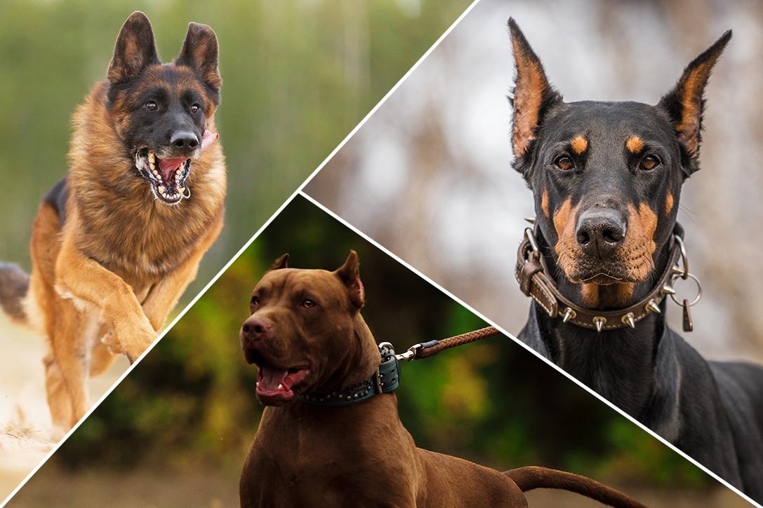 بهترین نژادهای سگ نگهبان و گارد