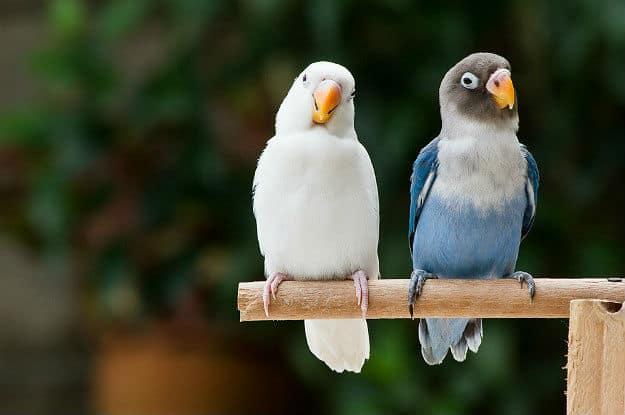 تربیت یک جفت طوطی برزیلی سفید و آبی سخنگو