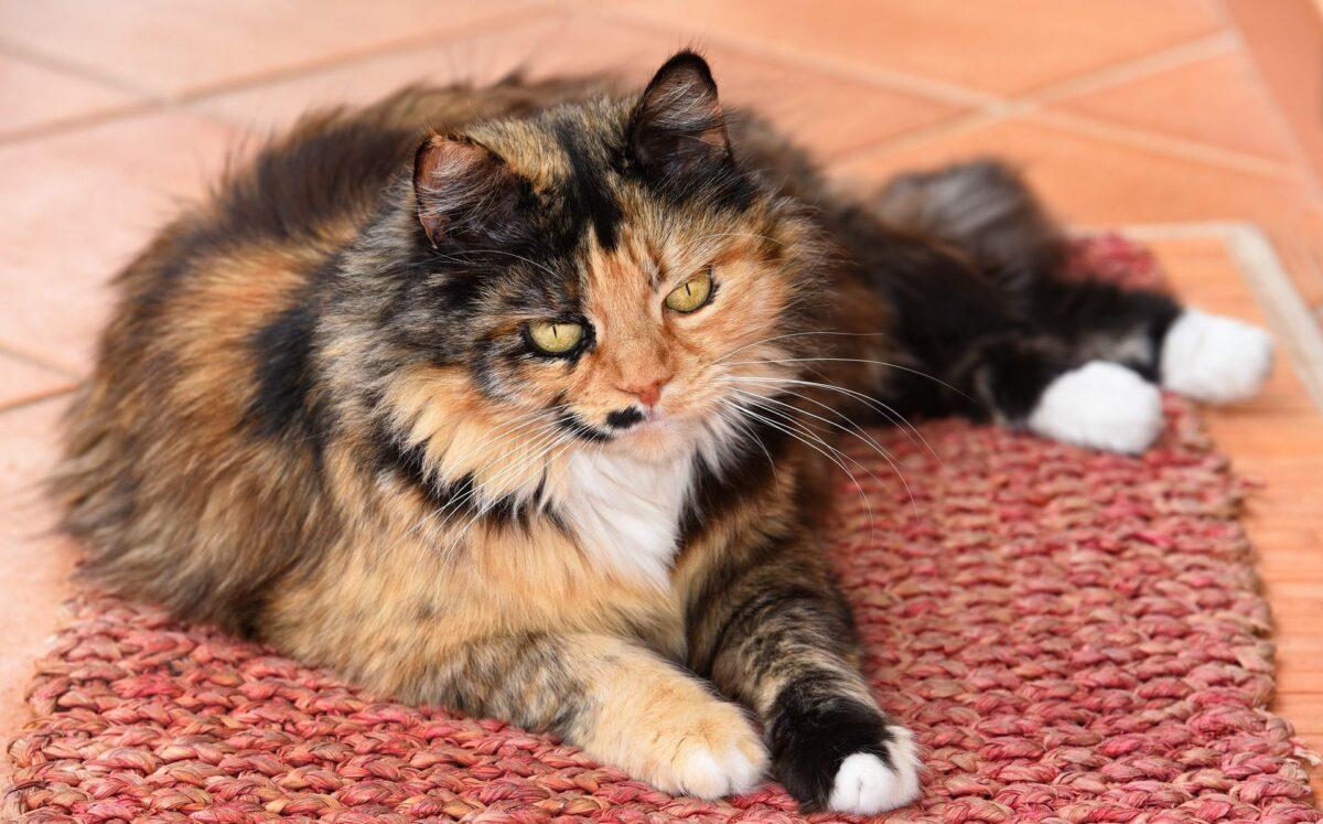 غذای رنال خانگی برای گربه