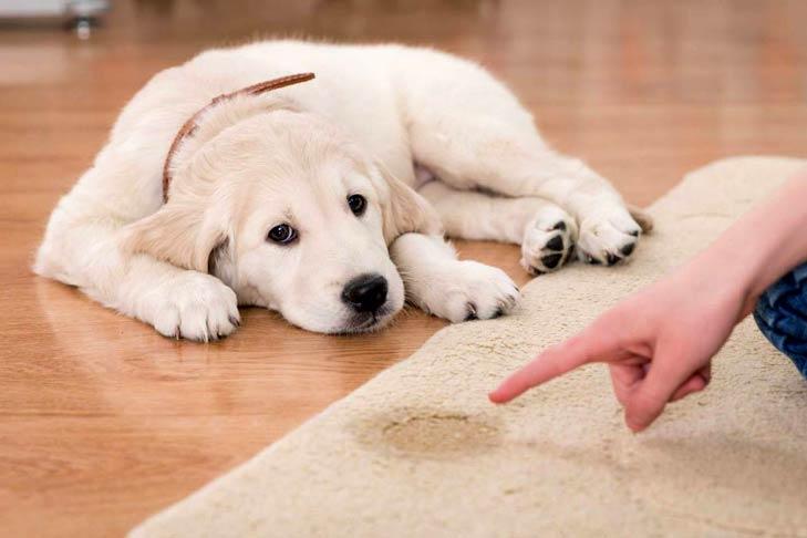 آموزش دستشویی به سگ بالغ