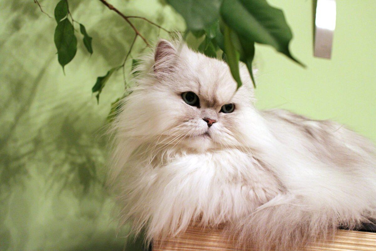 روش تربیت گربه پرشین