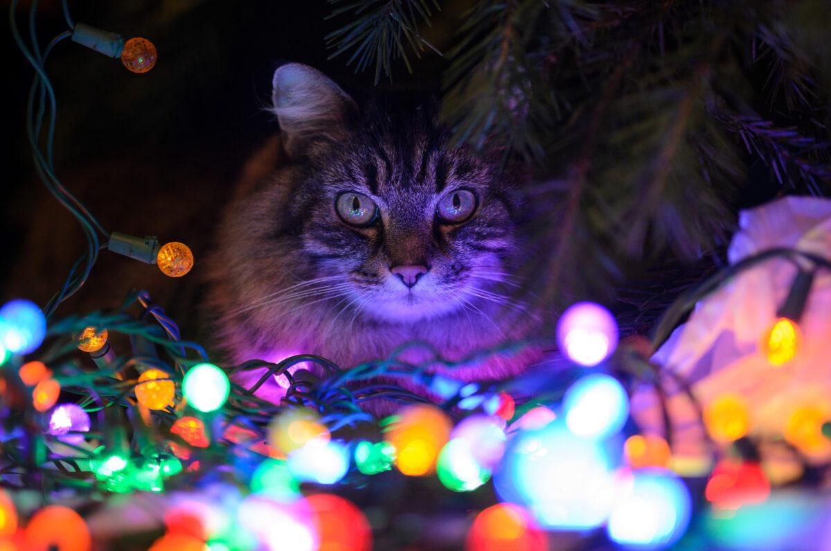 گربه بین چراغهای رنگی