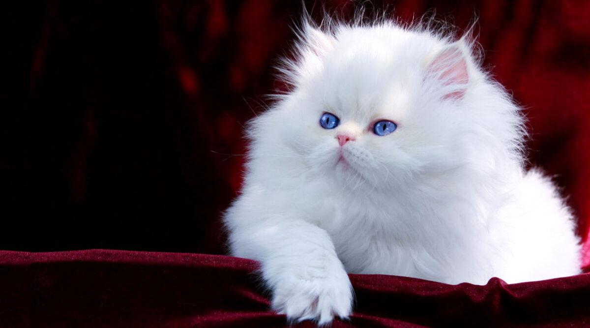 واگذاری رایگان گربه پرشین