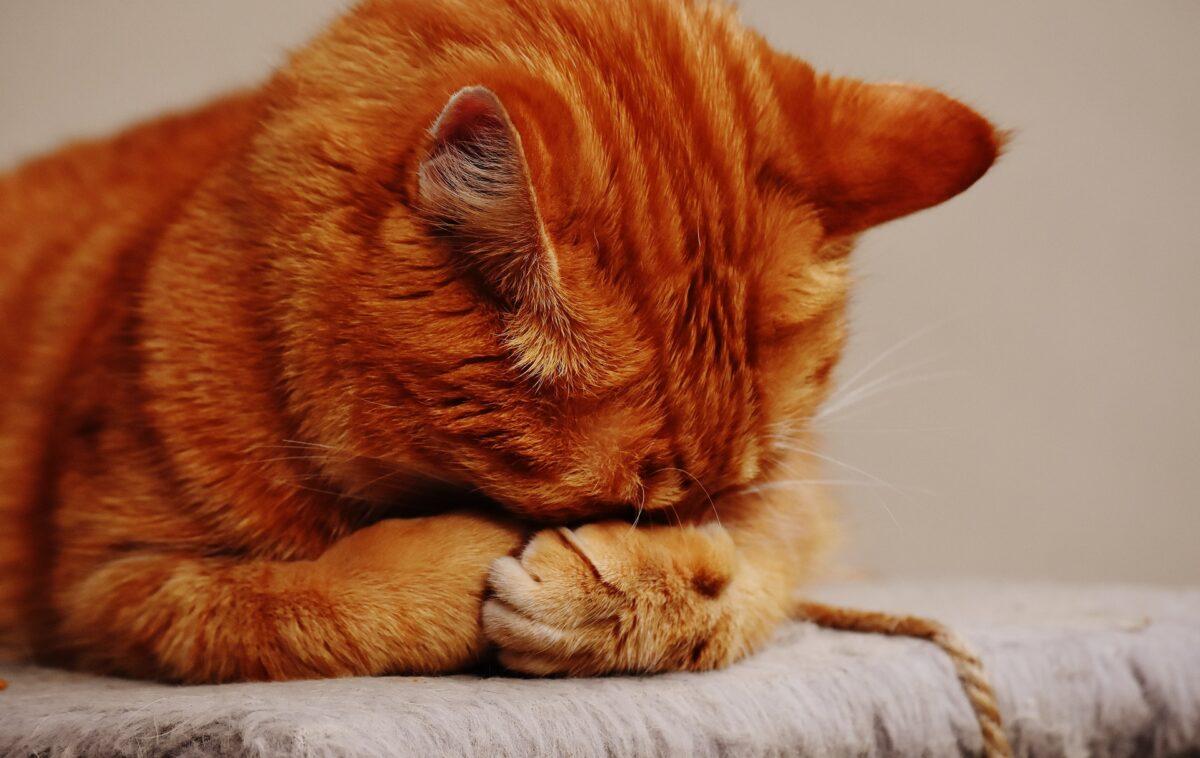 غذای رنال برای گربه بدغذا