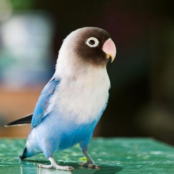 طوطی برزیلی آبی سفید و مشکی