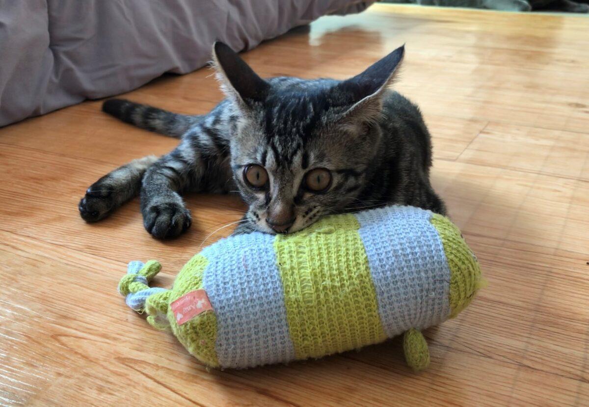 گربه در حال گاز گرفتن اسباب بازی
