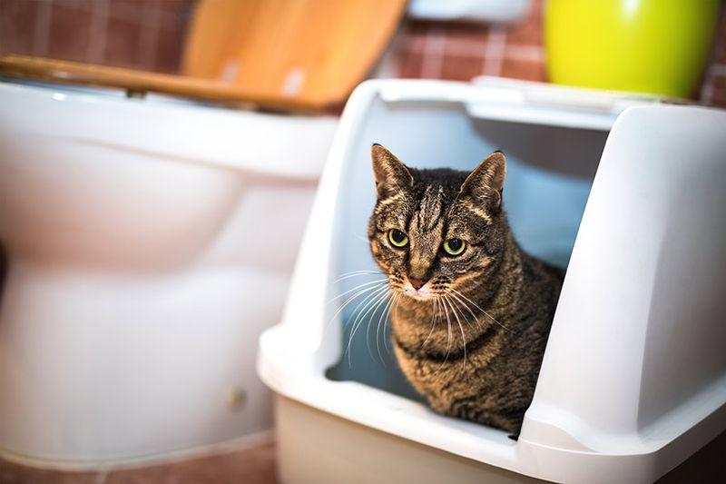 گربه داخل ظرف خاک مسقف