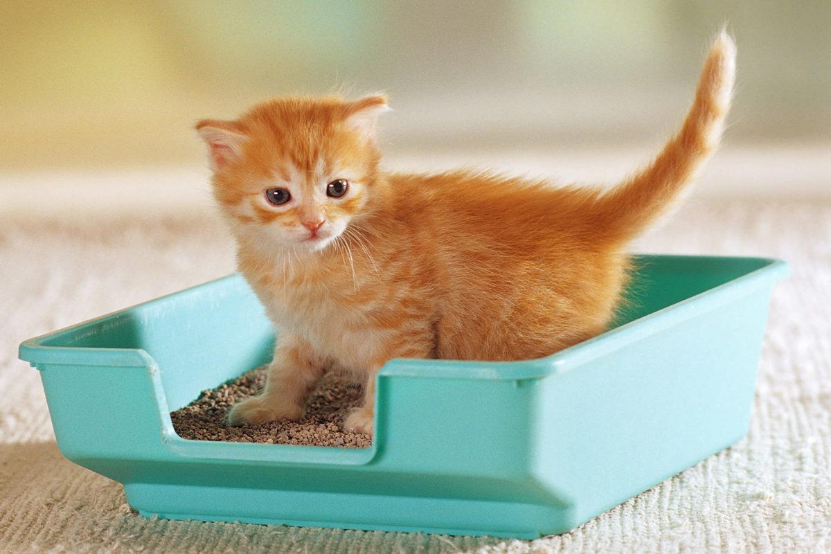 تربیت گربه برای دستشویی