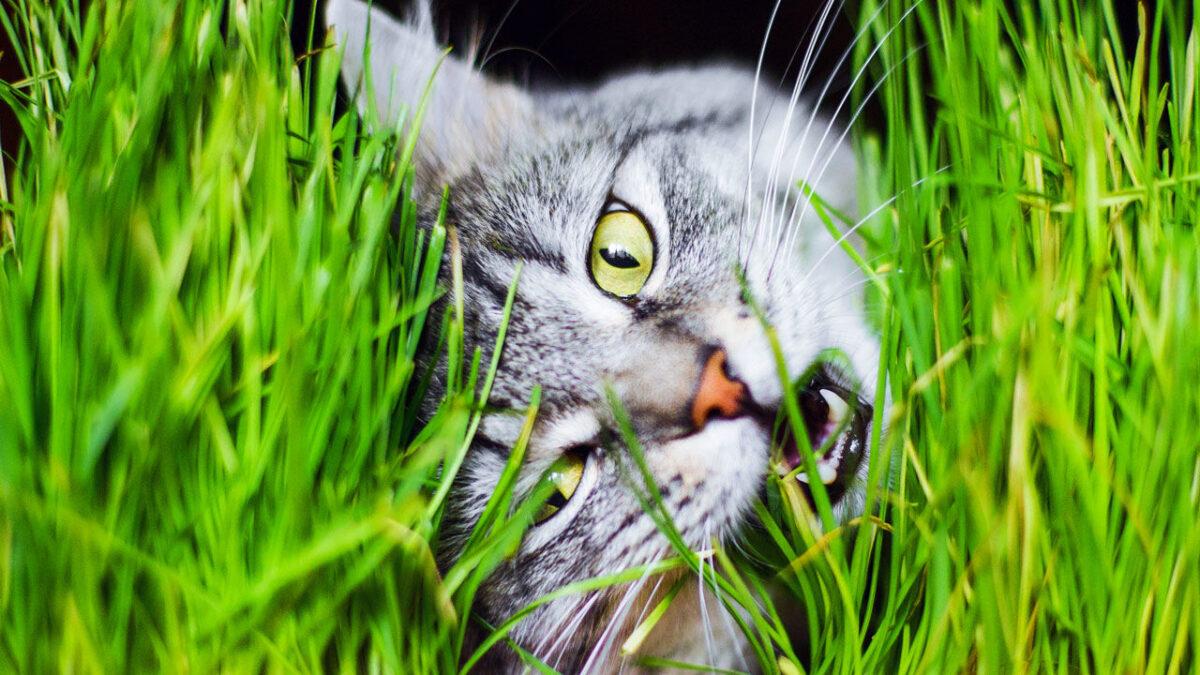 علف خوردن گربه
