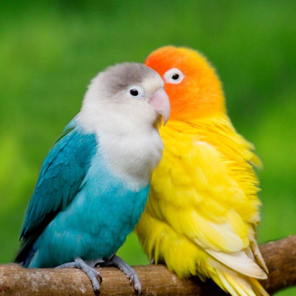 جفت سفید آبی و زرد نارنجی طوطی برزیلی سخنگو