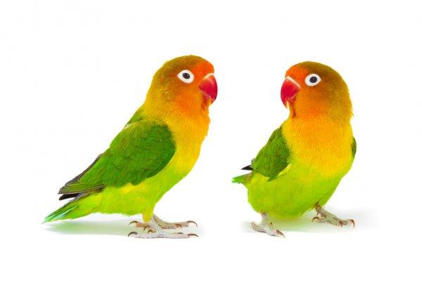 جفت زرد و نارنجی و سبز طوطی برزیلی