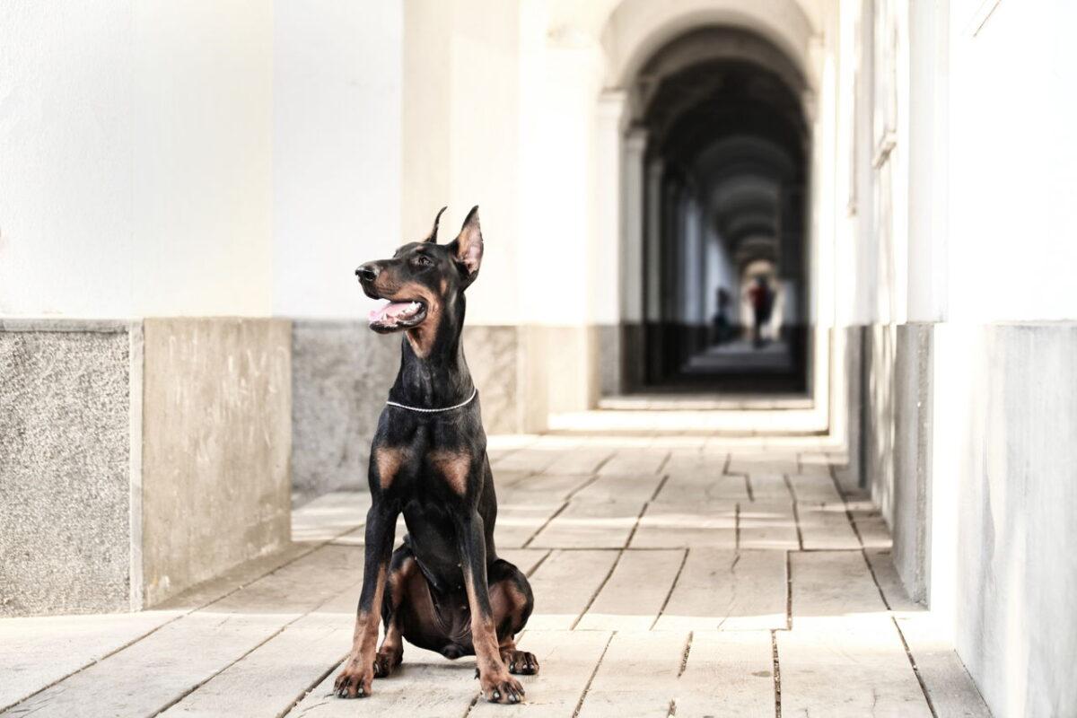 سگ دوبرمن در حال نگهبانی