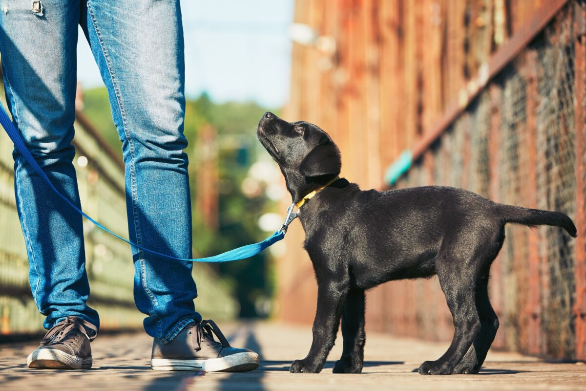 تربیت توله سگ برای نگهبانی