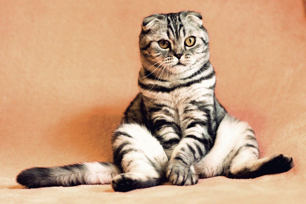 نارسایی مزمن کلیه در گربه