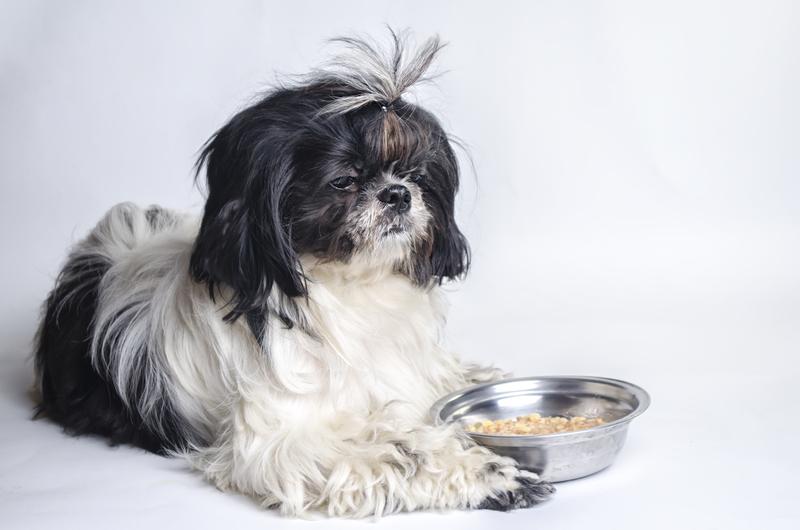 حساسیت غذایی در سگ شیتزو