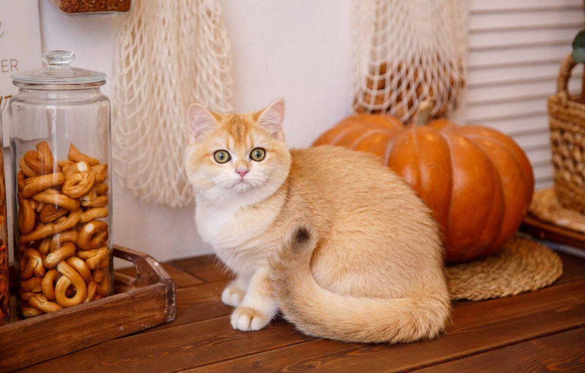 گربه و کدو حلوایی