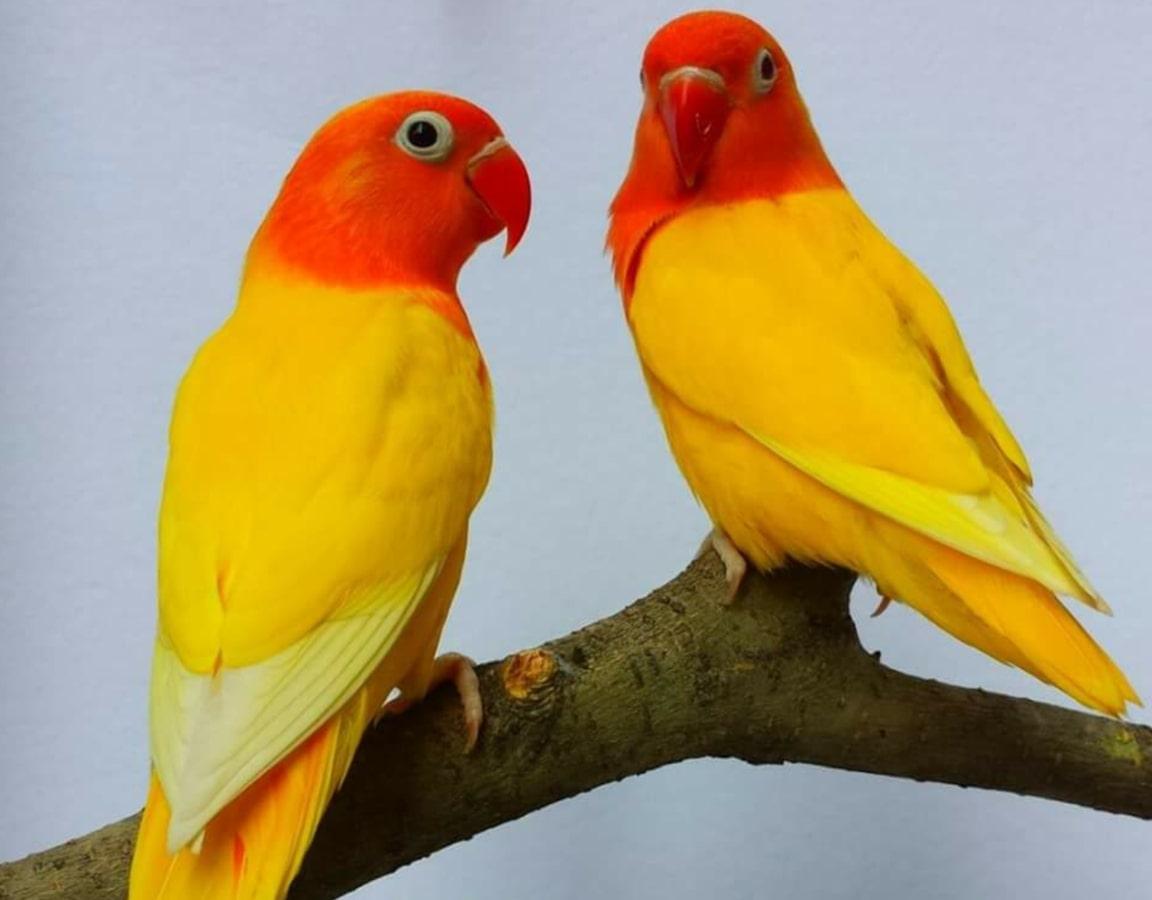 یک جفت طوطی برزیلی زرد و نارنجی روی شاخه