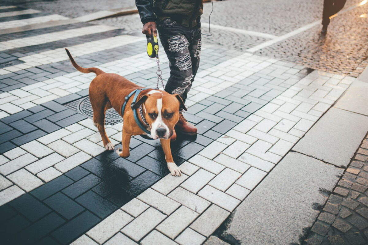 سگ پیتبول و صاحبش در حال راه رفتن