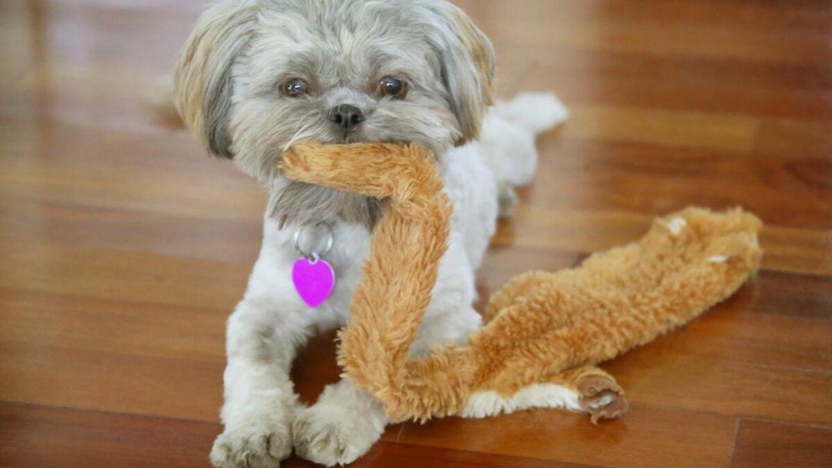 سگ شیتزو در حال بازی