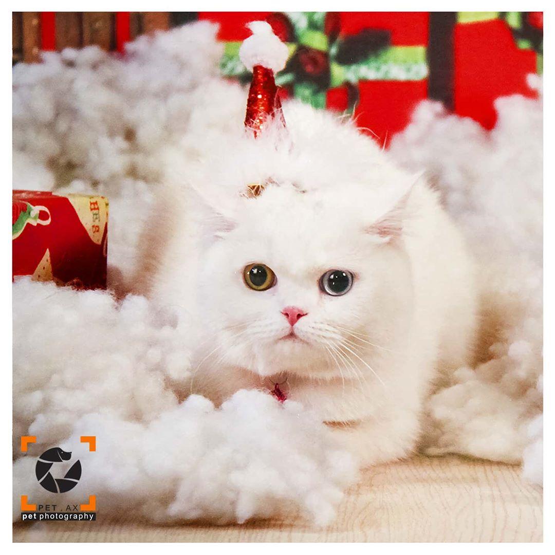 گربه سفید تم نوروزی