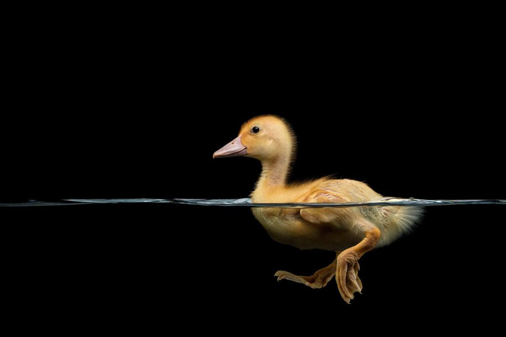 عکاسی از اردک در حال شنا