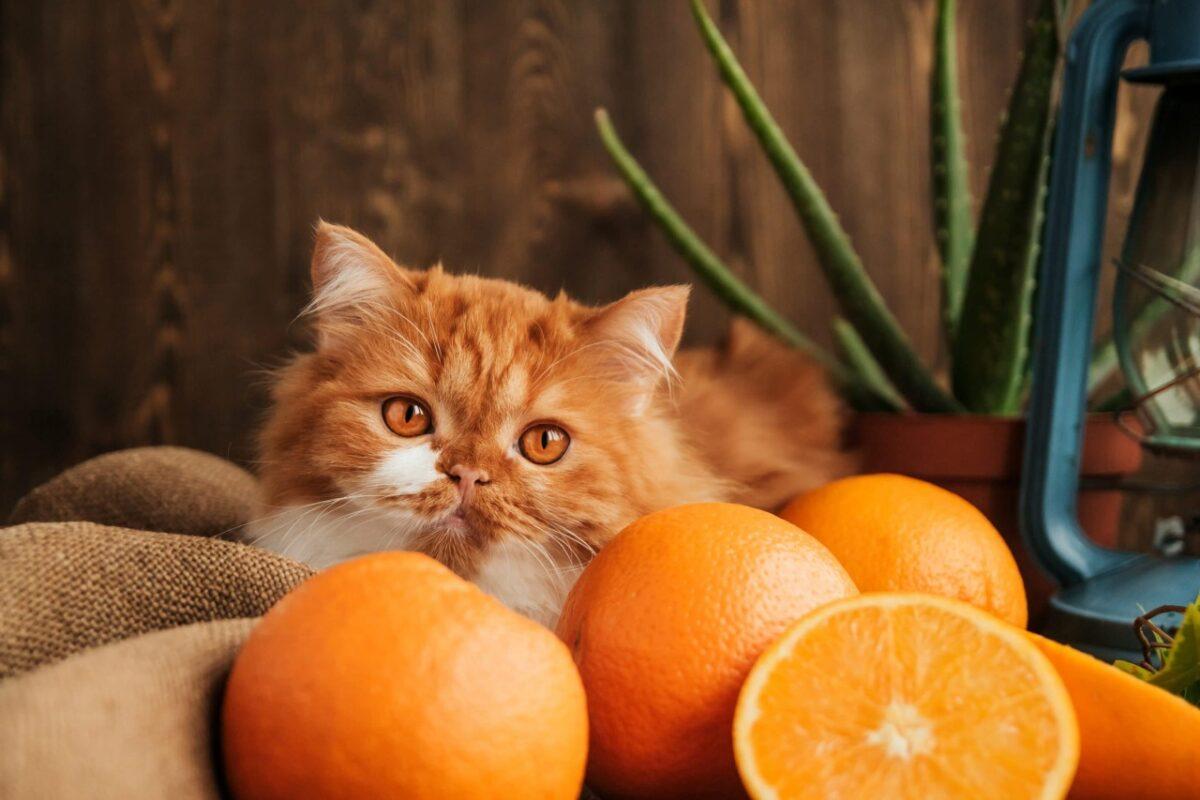 گربه نارنجی بین پرتقالها
