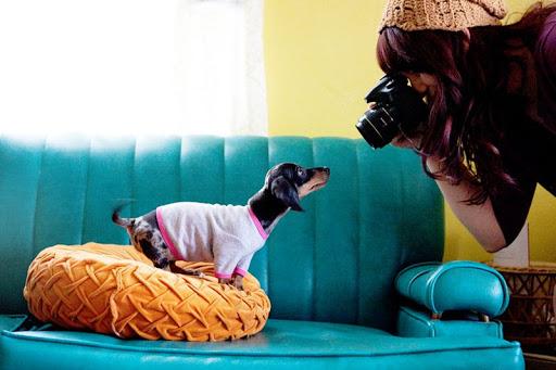 خیره شدن سگ داکسهوند به دوربین عکاسی