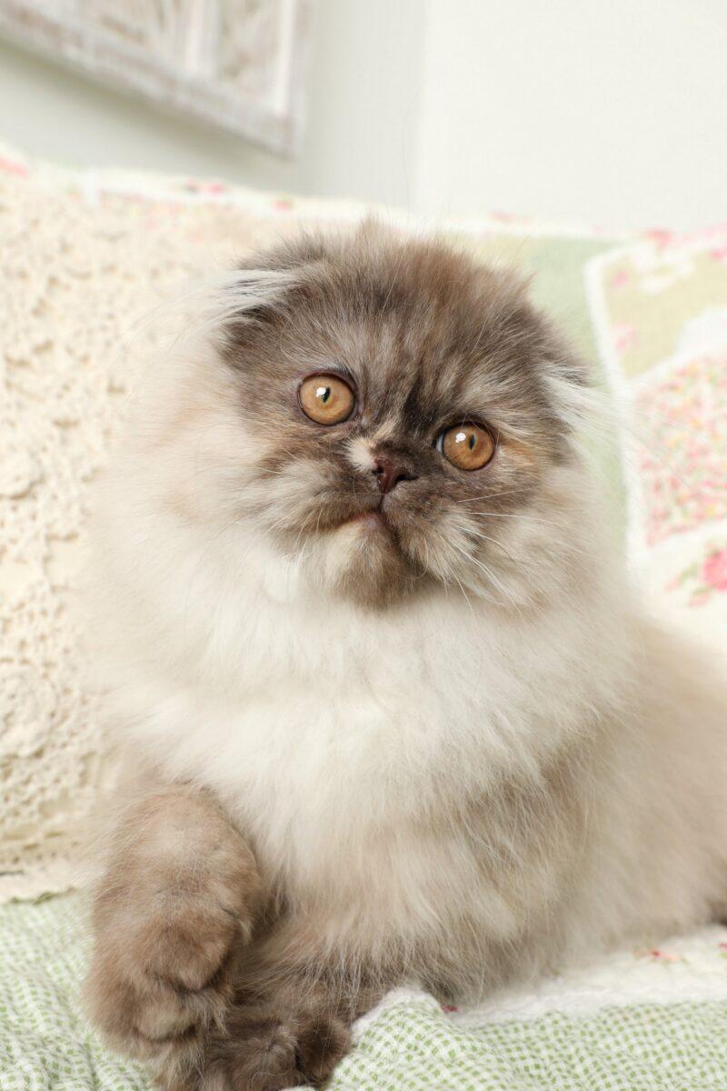 گربه هیمالین پارتی کالری یا تورتورایس شل