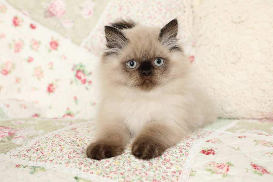بچه گربه هیمالین