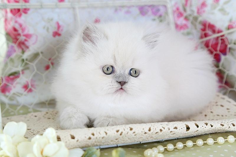 بچه گربه هیمالین آبی