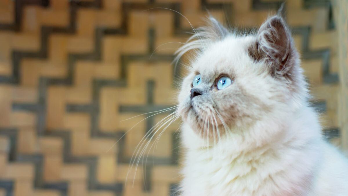 نیمرخ گربه پرشین هیمالین
