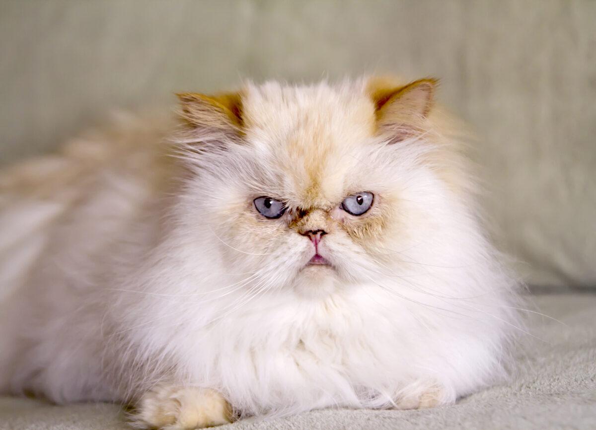 گربه هیمالین ردپوینت نر