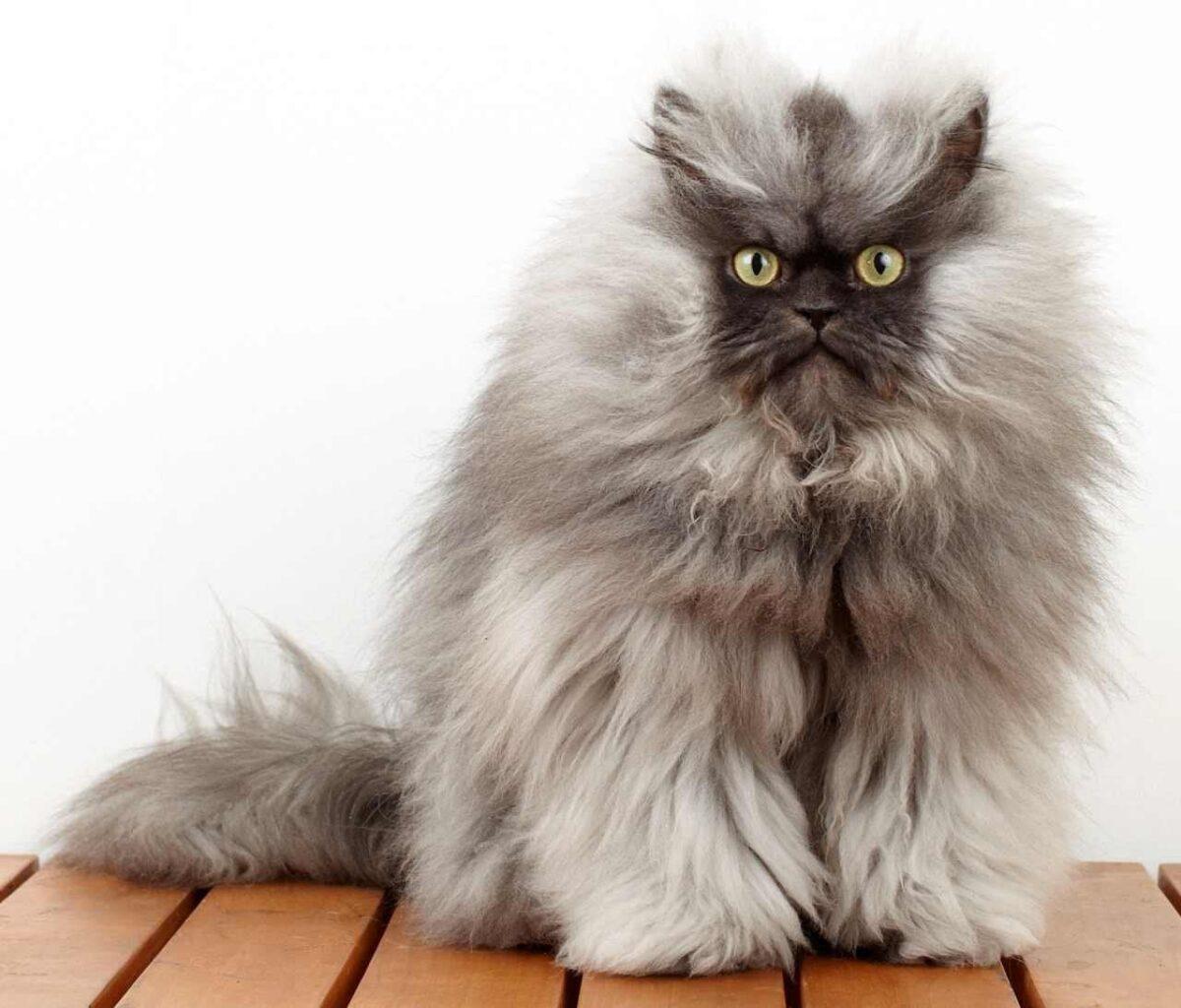 کلنل میو گربه هیمالین رکورد دار گینس