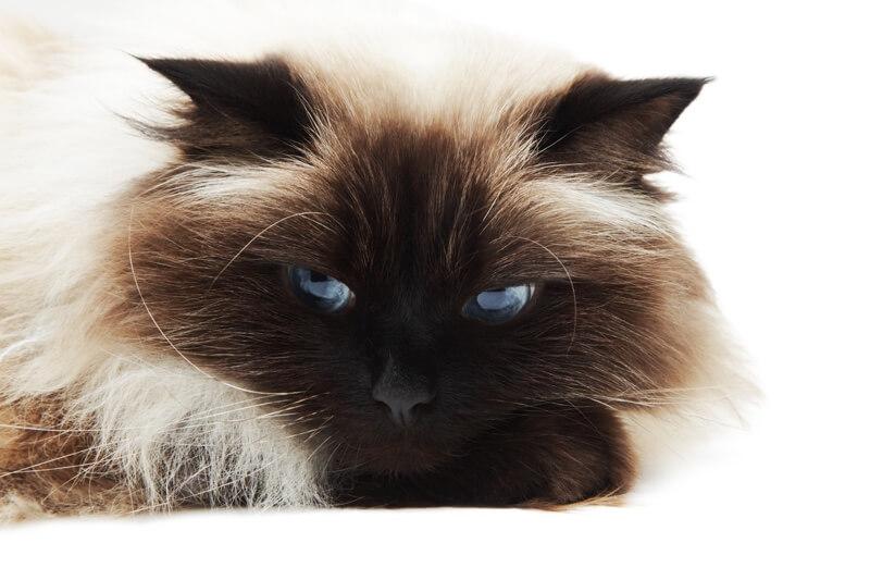 گربه هیمالین دال فیس در حال استراحت