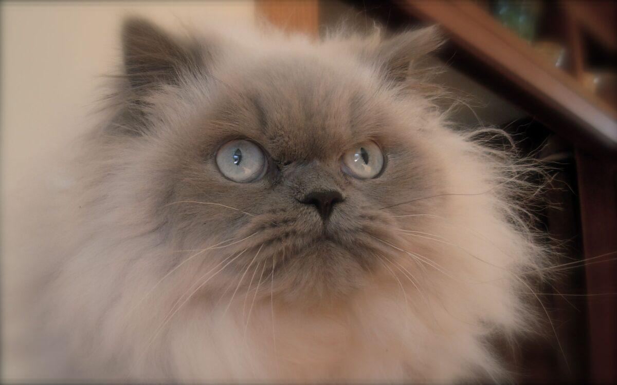 گربه هیمالین یاسی یا لیلاک